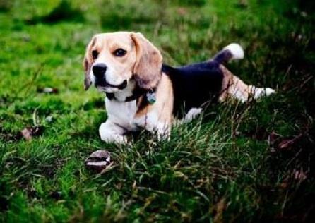 调皮的比格犬适合家养吗 中小型犬种的米格鲁猎犬